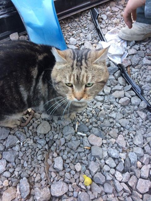 male tabby cat fishponds area – Found 1 December 2016