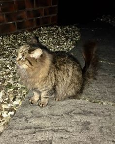 Found, Jan 2017, St George, Fluffy Tabby Cat,