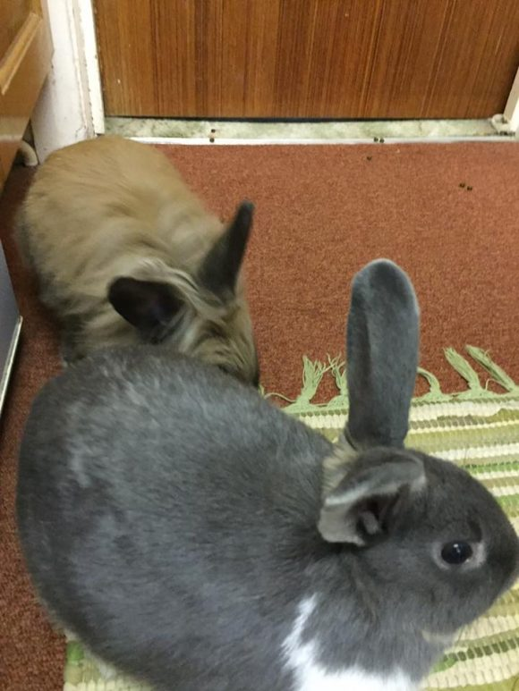FOUND! Jan 2017 Two rabbits found on St. Peter's rise bs13 last night.