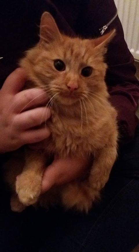Found cat Ginger,  Nov 2016 we were out at the shop and he followed us home, ran straight in our flat! Really friendly and happy, playful. Wearing a purple collar with a bell, we have left the back door open to see if he/she wants to go back out and is staying playing and cuddling! Really well looked after just think he/she is lost! Worried he/she is ggoing to be out all night in the cold, that's all! Lawrence Weston, Bristol. Broadlands drive…