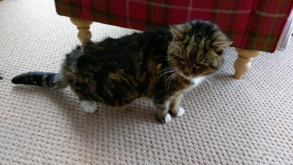 Backwell found tabby with some white …unchipped. elderly cat.  Found 22nd January 2017