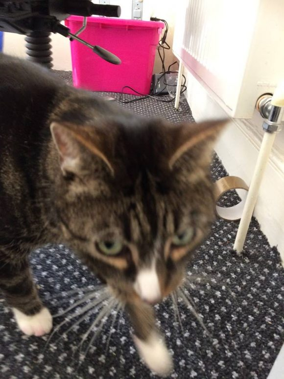 REUNITED – 16th March 2017 – Knowle – Tabby/White Cat