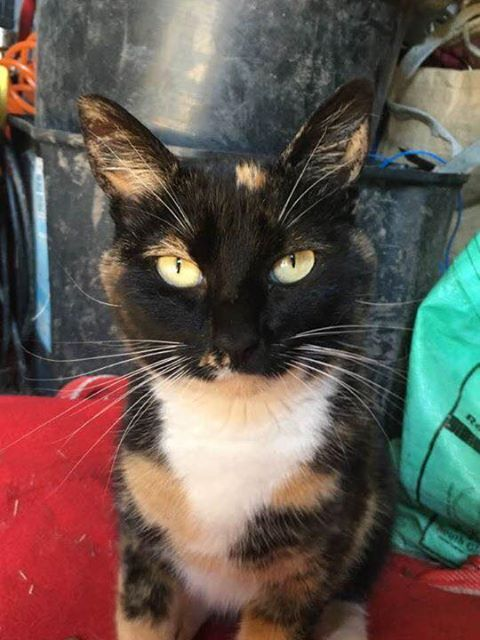 MISSING – 24th December 2016 – Missing female cat, dyers lane iron Acton