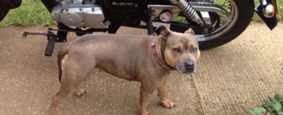 Missing Dog Yate Chipped