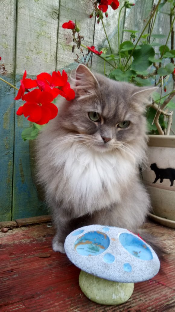 REUNITED – Missing Ragdoll/Persian Cross