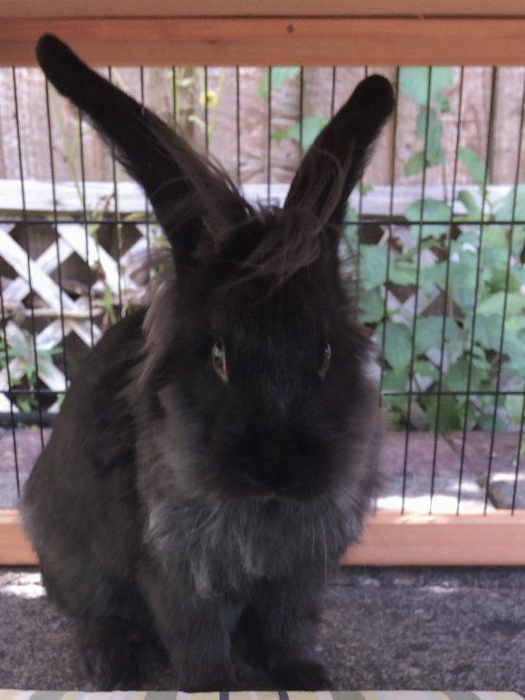 Missing black lionhead rabbit