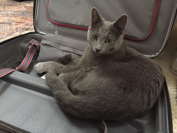 Missing grey cat