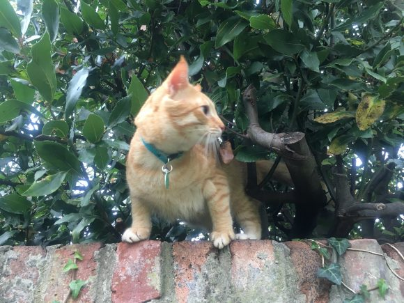 Lost Ginger male cat – Montpelier