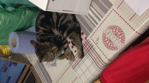 Missing tabby kitten 9months old