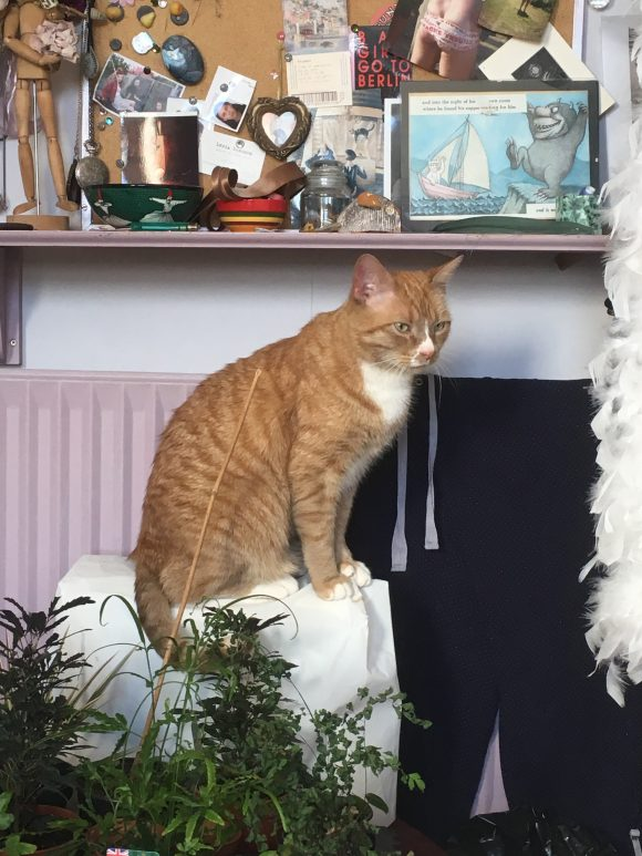 Missing ginger and white large male cat, Easton