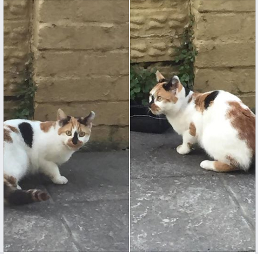 Cat found in Soundwell Road, Kingswood