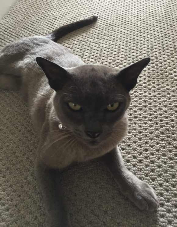 Missing grey Bermese Smokey