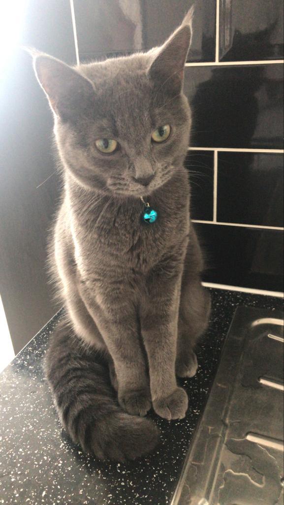Missing Cat – Grey British Shorthair called Ziggy