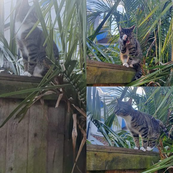 Missing 1 year old male Tabby white socks and chest