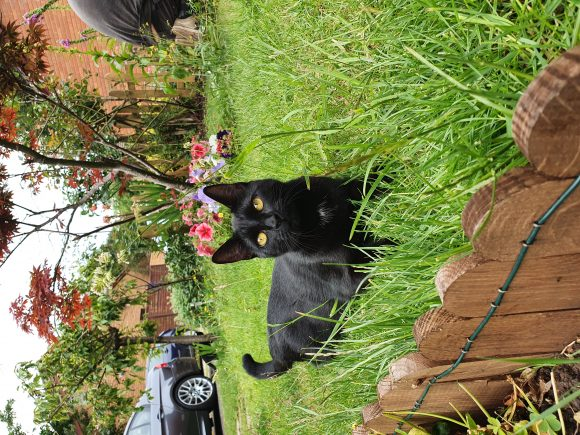 Missing black cat in Oldland