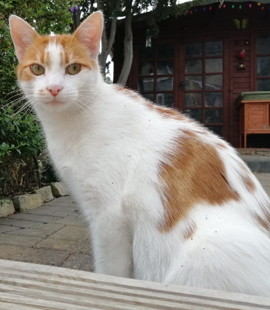 Missing Cat – Ginger and White Male