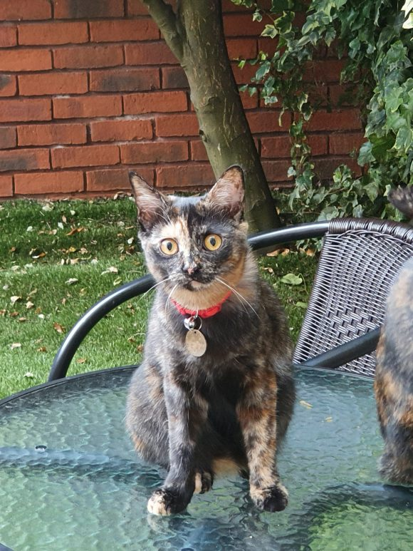 FOUND Tortie cat