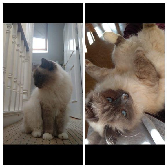 Missing Birman Cat!